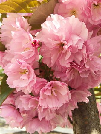 tropica: Pink cherry blossom, Japanese sakura tree Stock Photo