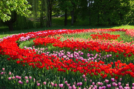 hundreds: Spring flowering of tulips, hundreds of bright colors on flowers in the park.