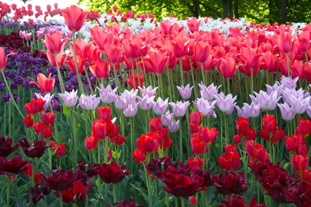 striated: Bright colors of spring tulips during flowering