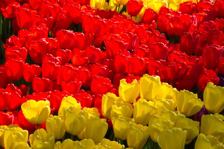 Red and yellow tulips of Holland