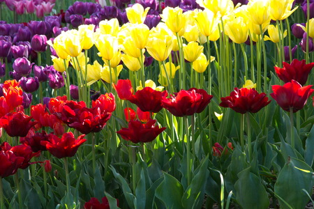 striated: Bright colors of spring tulips during flowering, yellow, red, purple, pink ......