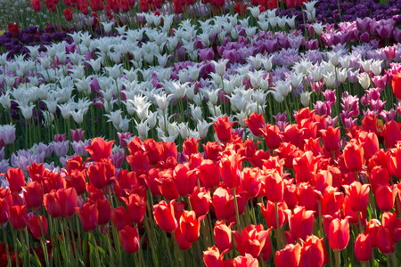 striated: White, red, purple blooming tulip, Spring flowering of tulips, hundreds of bright colors on flowers in the park. Kiev, Ukraine Stock Photo
