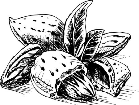 almonds: Almonds Illustration