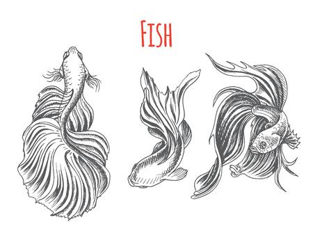 Hand drawn vector sketch Betta splendens, Fantail Goldfish. Ilustrace