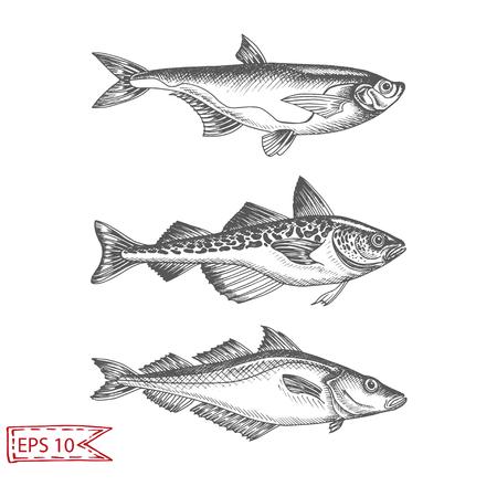 Hand drawn sketch illustration with fish. Wildanimal vector. Restaurant food card for seafood menu. Ocean life.
