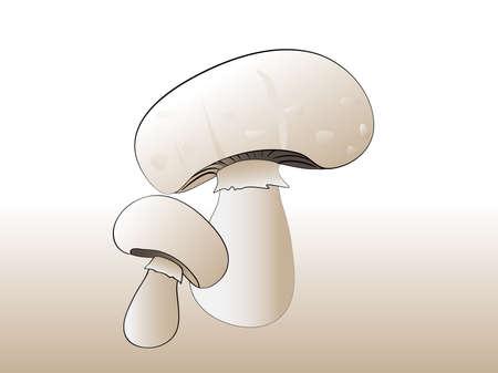 agaricus: Two White Common Champignon (Agaricus bisporus) Mushrooms
