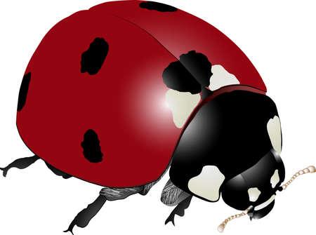 septempunctata: Realistic Detailed Ladybug (Coccinella septempunctata) Drawing
