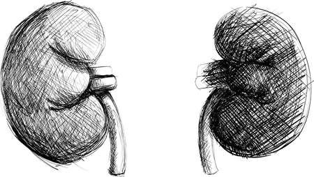 kidneys: Realistic Black and White Hand-drawn Kidneys Illustration