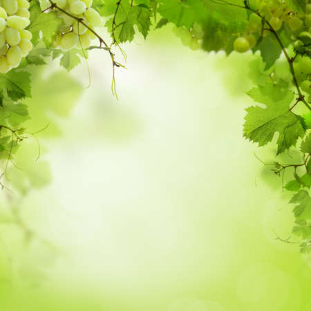grape vines: Sunny green background with grape vines and leaves