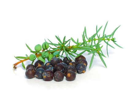 enebro: Juniper Berry and Green Branch Isolated - Closeup Foto de archivo