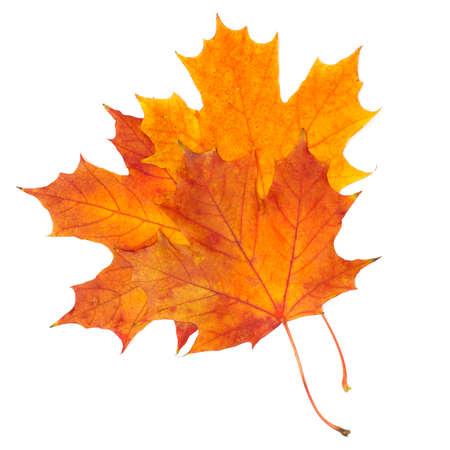 september 2: autumn maple leaf isolated on white