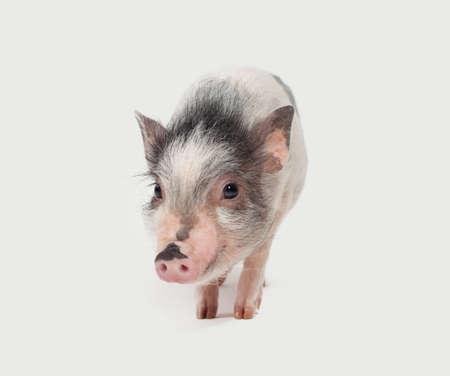 Cute mini pig on white background, portrait Stock Photo