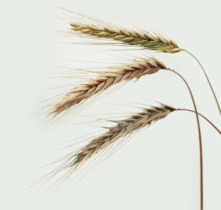 ripe wheat ears on white sky background Reklamní fotografie