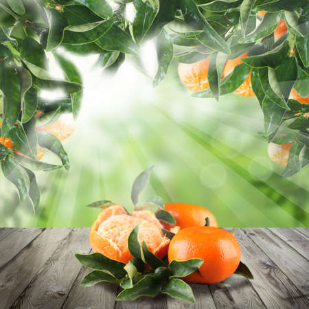 Tangerines on wooden table in Green garden