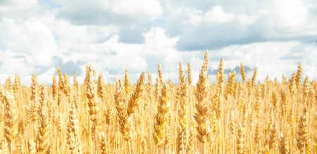 Feld mit gelbem Weizen und blauem Himmel. Konzept der Ernte Standard-Bild