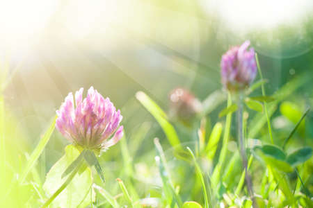 Art Spring Natural Green Background with sun, Clover Flowers