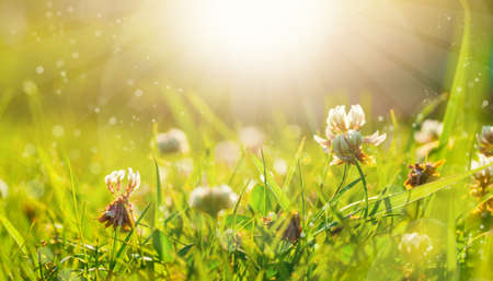 Art Spring Natural Green Background, Clover Flowers after rain  Stock Photo