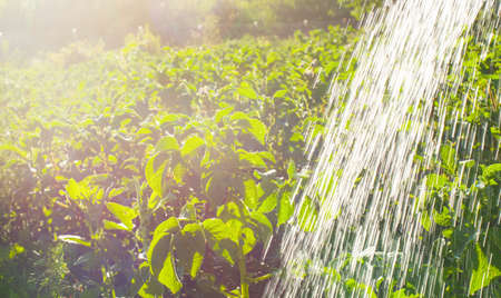 Dry summer makes watering the fields a daily task for farmers.