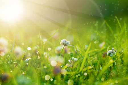 Art Spring Natural Green Background, Clover Flowers with bokeh cirlce and sunlight