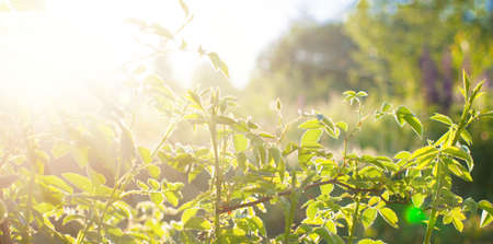 Green leaves at sunrise, plant rose in morning with sunlight