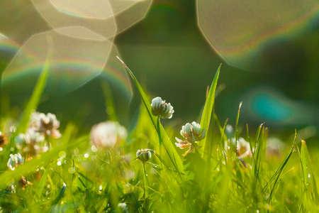 Art Spring Natural Green Background, Clover Flowers after rain  版權商用圖片