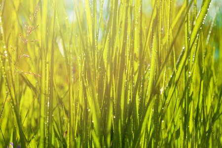 Green grass with green bokeh background after rain
