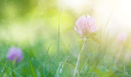 Art Spring Natural Green Background with bokeh, Clover Flowers 版權商用圖片