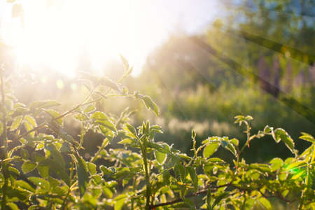 Green leaves at sunrise, plant rose in morning with sunlight Stockfoto