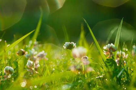 Spring Natural Green Background, Clover Flowers and green grass with bokeh