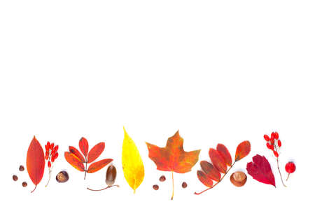 Autumn composition border with red fall maple leaves, nuts and berries isolated on white