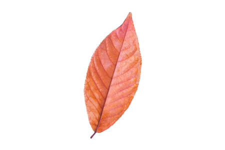 Orange autumn fall leaf isolated on white background Standard-Bild