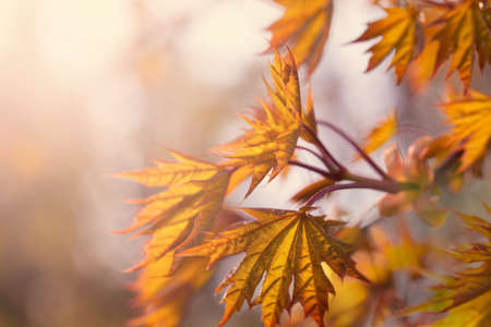 Beautiful autumn background with yellow fall maple leaves and abstract bokeh sun light Standard-Bild