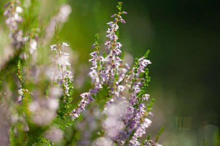 Blurred purple floral background. Summer abstract nature background with heather flowers in the meadow with copy space