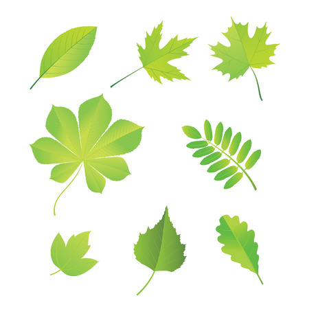 Set of leaves of various trees. Vector. Vector