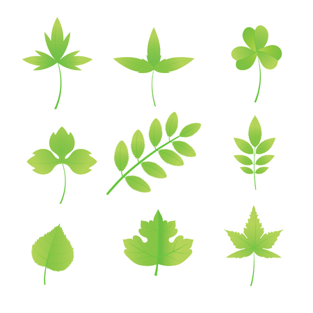 acacia: A set of leaves of various trees.  Illustration