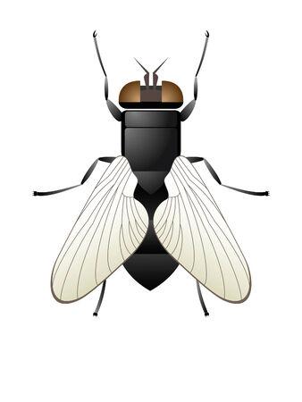 membranes: Fly  Illustration