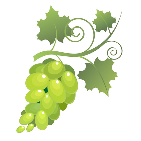 vegetarianism: Image of bunches of grapes with leaves on a white background  Vector