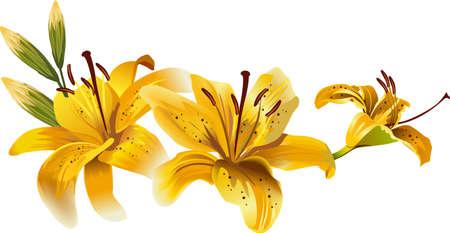 beautiful yellow lilies Illustration