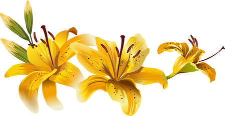 beautiful yellow lilies Иллюстрация