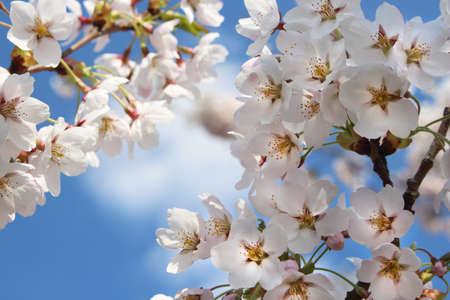 White Japan cherry flowers on blue sky background Zdjęcie Seryjne