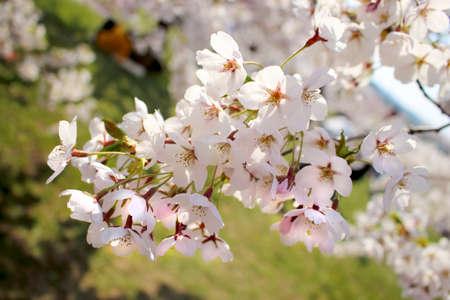 White Japan cherry flowers on green background Zdjęcie Seryjne