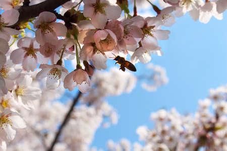 Bee flying in Sakura flowers on bright day