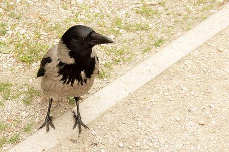 Wild crow posing on a park road Archivio Fotografico