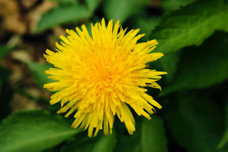 Yellow dandelion spring flower top view close up