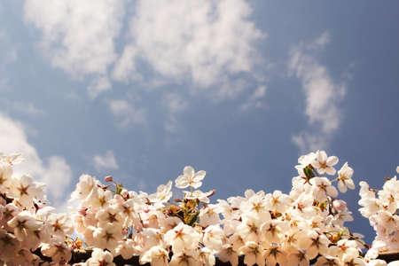 White Sakura flowers on branch framing a blue sky