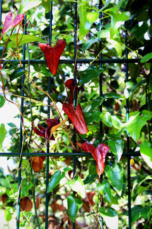 Green garden vine with red heart shaped leaves on a fence on sunny day 스톡 콘텐츠