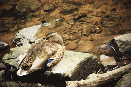 Duck resting on a block in transparent river water background