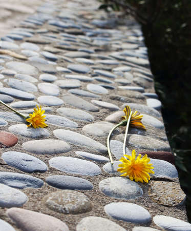 Three weathered yellow dandelions on stone concrete bench drying in the sun Stockfoto