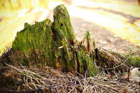 Old tree stump part overgrown with green moss