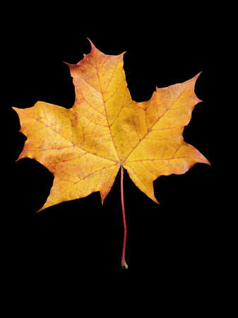 Big autumn fallen maple leaf isolated on black background